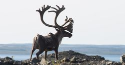 Miners watch for caribou report