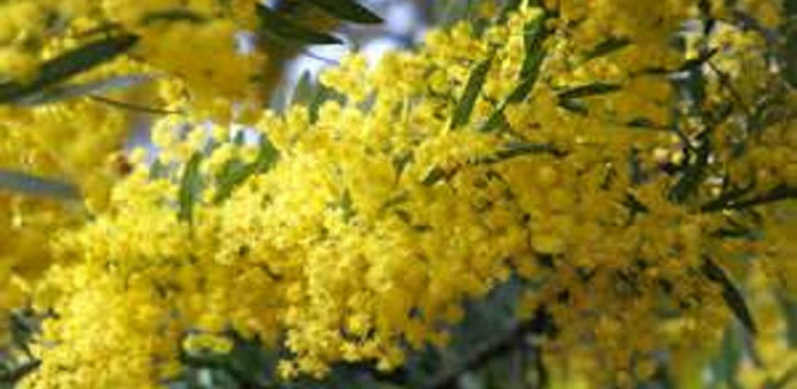 insecticidal property of acacia seeds and bark against termites