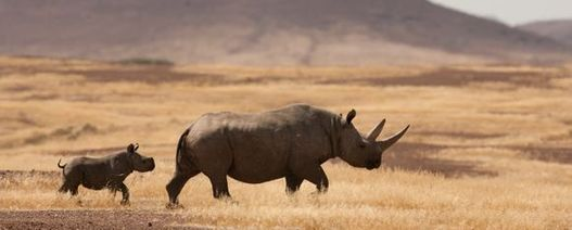 Miner donates gold to help save the rhino
