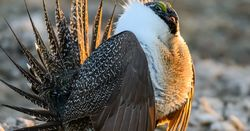 US sage grouse restrictions to fly